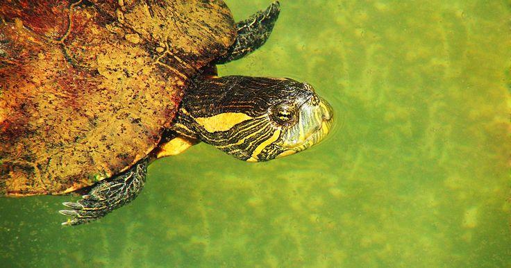 Cómo limpiarle los hongos a las tortugas bebés
