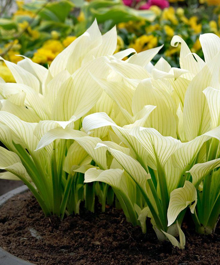 Funkia 'White Feather' found at www.bakker.se. Perenn, för att övervintra väl kräver de skyddad och dränerad växtplats.