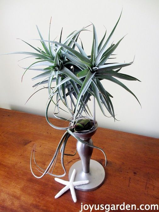 Air Plant Display - Use a candlestick to display your Tillandsia.
