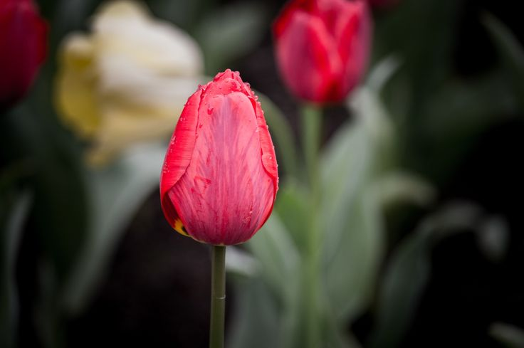 Tulipán Rojo by Max Villegas on 500px