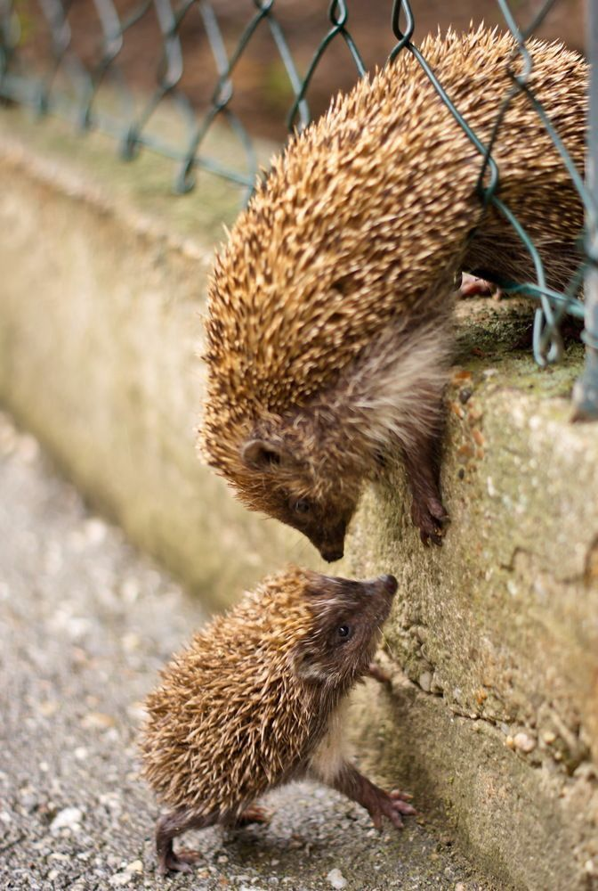 Mother Hedgehog helping her Baby up the wall