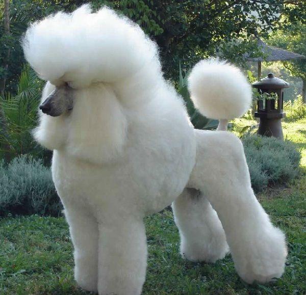 Oltre 25 fantastiche idee su toelettatura per barboncino for Cani da tenere in casa