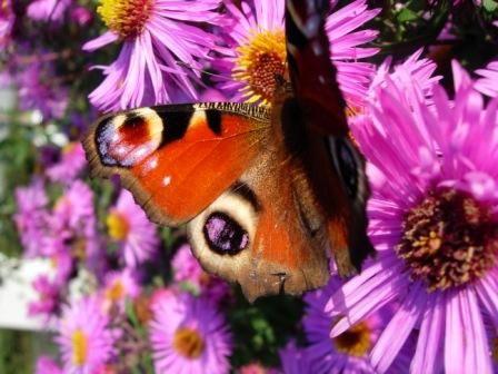 vlinderopaster.jpg 448×336 pixels