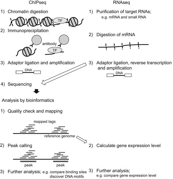 RNA-Seq reveals the mechanisms of transcription regulation during heart development - As the human genome size is 3G bp, next-generation sequencers can easily cover the whole human genome, thus this sequencer is suitable to use for genome-wide analysis. Indeed, many methods are developed using next-generation sequencers, such as the combination with chromatin immunoprecipitation and sequencing (ChIPseq) and whole-transcriptome shotgun sequencing (RNA sequencing; RNAseq). These…