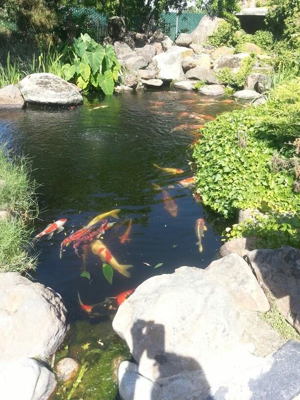 34 best japanese koi images on pinterest fish japanese for Nishinomiya tsutakawa japanese garden koi