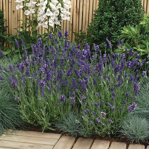 117 best images about herb lavender on pinterest growing lavender perennials and fragrance. Black Bedroom Furniture Sets. Home Design Ideas