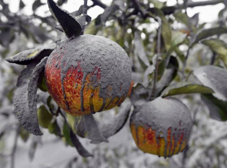 Apples in an orchard in Kumamoto Prefecture are seen covered with volcanic ash from Mount Aso following Saturday's eruption.