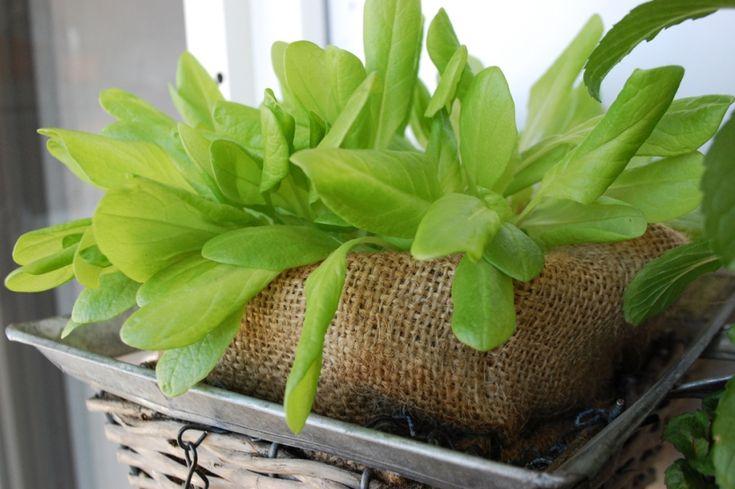 Lettuce in the pot