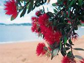 Pohutukawa; New Zealand's native 'Christmas tree'.  The red flowers usually are best late December - at Christmas - but can be seen late November through to mid January.  Many to be seen on the North Island's many coastly regions.