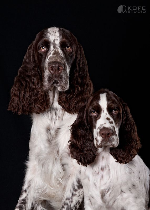 Two springer dogs are better then one