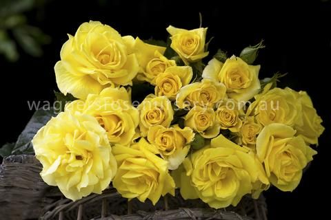 A medium bushy upright plant with deep yellow colouring borne mostly in solitary cluster flowered ruffled bloom form. It has medium, semi glossy light green foliage and is highly disease...