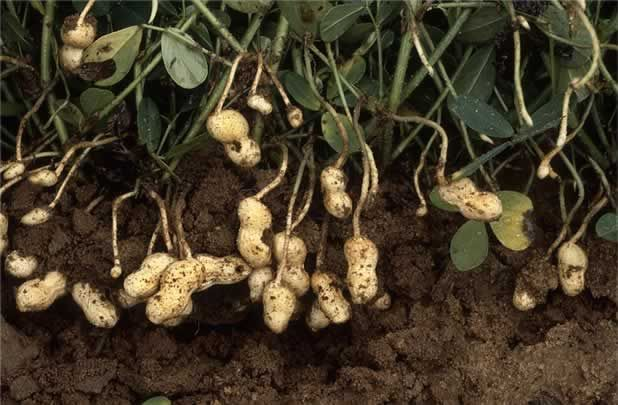 WANT TO BUY RARE AND UNUSUAL SEEDS? THEN CLICK HERE FOR THE 'SEEDS OF EADEN' SEED SHOP   Once called 'goober peas' in the United States,...