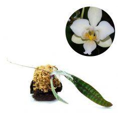 Tanaman Anggrek Phalaenopsis - kebunbibit - kebunbibitPhalaenopsis Celebensis Rp 255,000