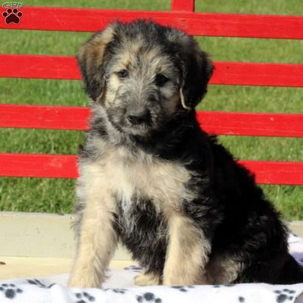 Image Result For Shepadoodle Cute Animals Pets Image