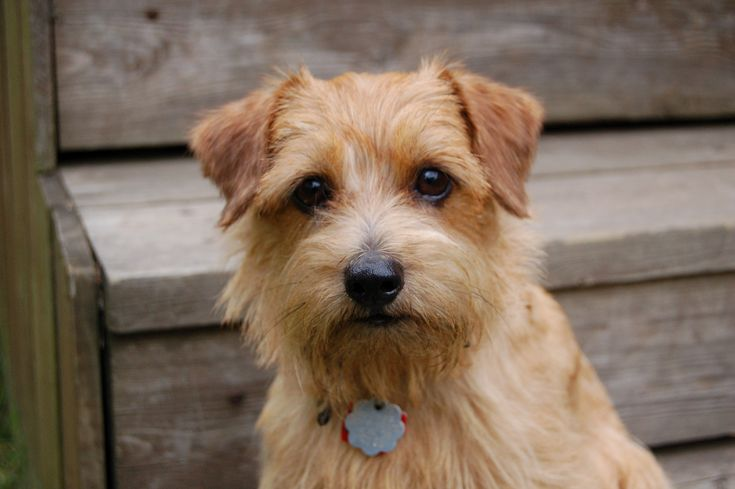 This is a perfect breed for anyone seeking for a lively and fearless canine companion. The Norfolk T...