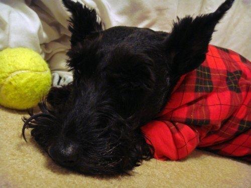 Scottie Bedtime Stories. via The Scottie Mom http://scottiemom.com/2013/05/28/bedtime-stories/ #yuki #yukituristainsolita #dog #scottishterrier #wheatscottie #cachorro  #cachorroetudodebom #pet #pets #petsofinstagram #petsgram #instapuppy #cute #instacute #instapet #puppylove #puppygram #scotties #terrier #scottishterriersofinstagram #puppiesofinstagram #scottielove #scottielove #scottish_terrier #scottielovers #scottieobsessed #scottiegram #scottishterribles #themostbeautifuldogintheworld