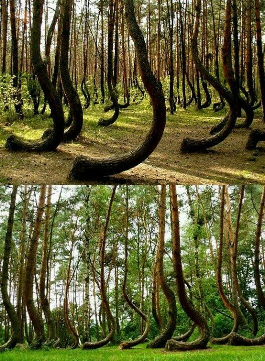 The Best Crooked Forest Ideas On Pinterest Where Is Poland - To this day the mystery of polands crooked forest remains unexplained