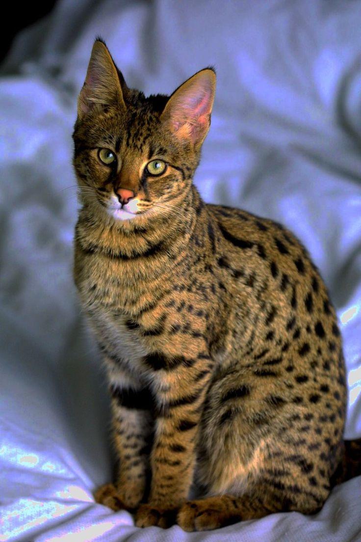 F3 Savannah Cat Pictures