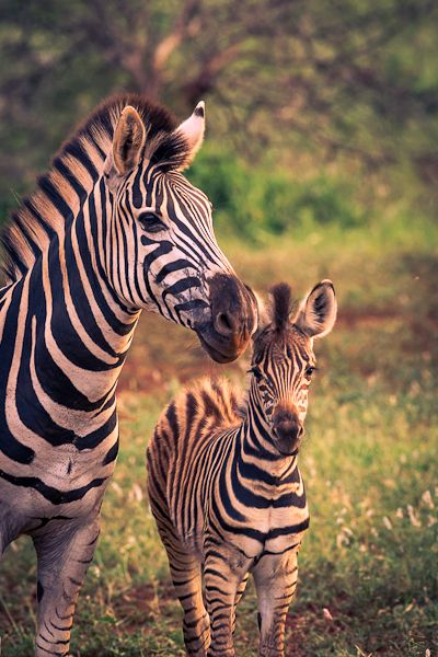 Zebras - Explore the World with Travel Nerd Nici, one Country at a Time. http://travelnerdnici.com