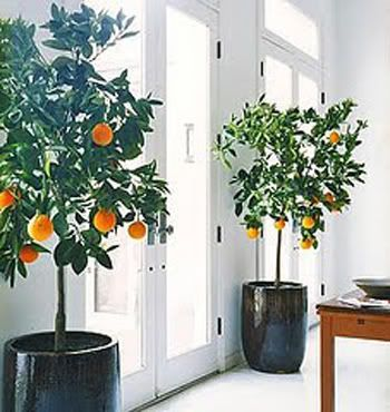 If ONLY an orange tree or meyer lemon would grow inside.  Seriously doubt these are actually producing fruit indoors--there isn't enough light (it seems) in that apt.