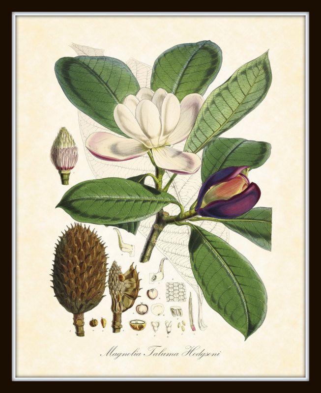 Magnolia Plate 3 Taluma Hodgsoni  Antique Botanical Art Print 1855 Art Print 8 x 10 Home Decor by BelleBotanica on Etsy