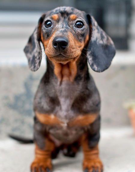 How cute is this? Dapple Daschund puppy