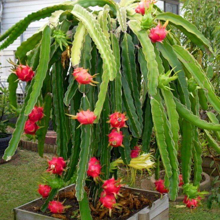 Les 25 meilleures id es de la cat gorie arbre fruit du - Arbre fruit du dragon ...