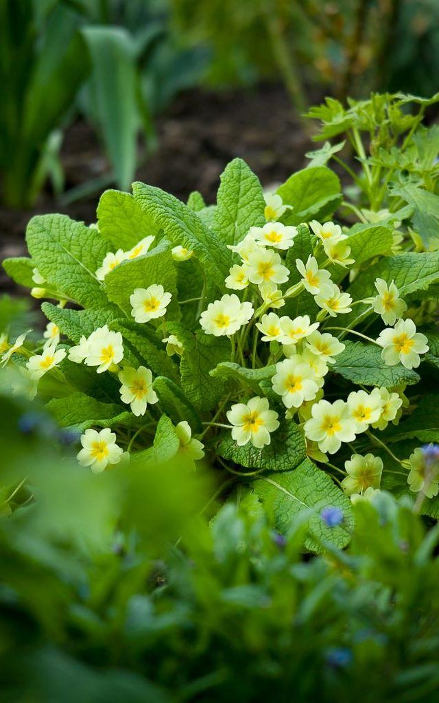 Allowed, yellow, purple blue part shade Primula vulgaris - primrose - in a spring border