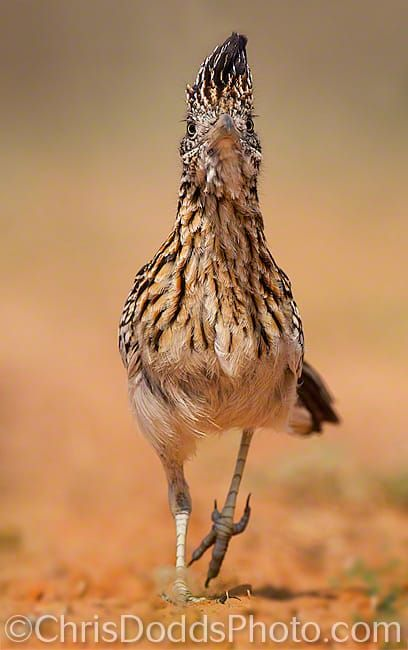 MEEP! MEEP! greater roadrunner by Christopher Dodds on 500px. The Greater Roadrunner gets its English name from its great running ability.