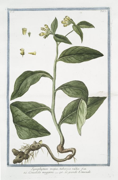 139505 Symphytum tuberosum  [as Symphytum majus tuberosa radice]  / Bonelli, Giorgio, Hortus Romanus juxta Systema Tournefortianum, vol. 2: t. 31 (1783-1816)