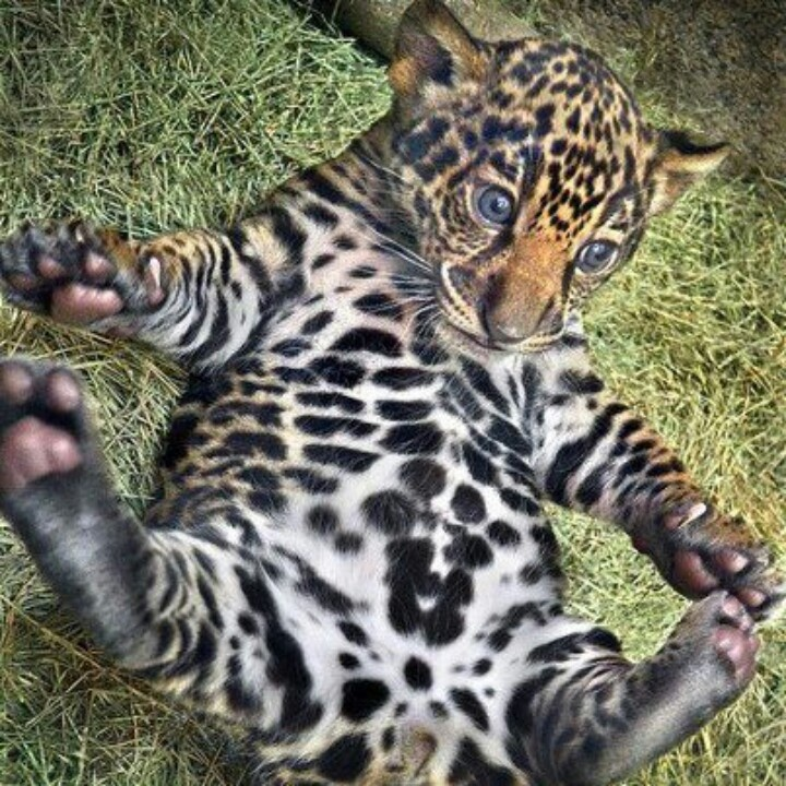 Baby Jaguar | Cute & Funny | Pinterest