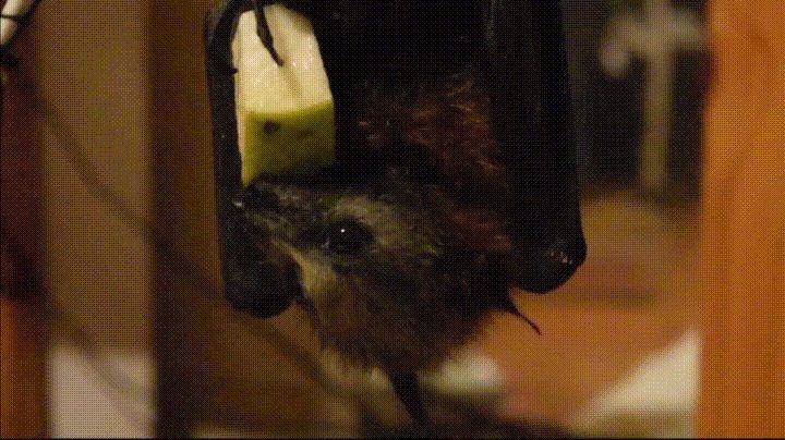 Baby flying fox eats fruit like a boss http://ift.tt/2kagCUw