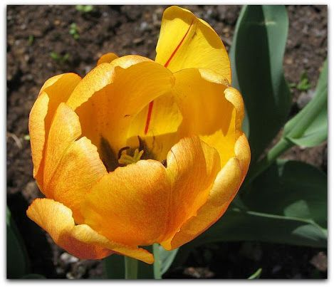 Tulipa amarela  A flor tulipa é considerada uma mensageira da paixão e do amor. É a flor favorita da Páscoa para os amantes, ela é usada para transmitir os sentimentos do coração para uma pessoa especial.   http://sergiozeiger.tumblr.com/post/115381460343/tulipa-amarela-a-flor-tulipa-e-considerada-uma  Como arautos da primavera, as túlipas são flores populares na Páscoa. Para celebrar o ciclo de crescimento e o retorno do calor e abundância após o longo inverno, buquê coloridos de túlipas…