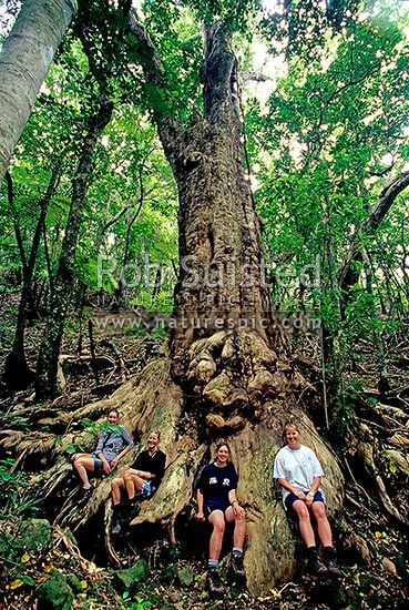 Giant Puriri tree (Vites lucens) and visitors, Great Barrier Island, Auckland City District, New Zealand (NZ).