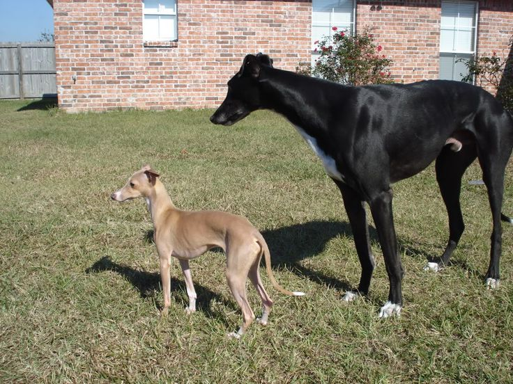 Greyhound and Italian Greyhound. Our house one day.