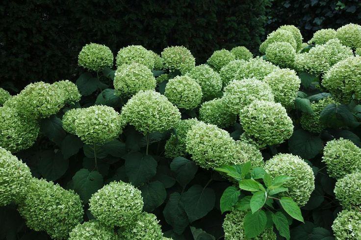 Hortensia snoeien. Hoe snoei ik mijn Hydrangea 'Annabelle', paniculata, macrophylla?   Maréchal