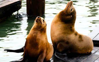 Seelöwen sonnen sich am Pier von San Francisco