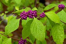 Callicarpa americana - American Beautyberry, mostly southern zones, but some sights say zone 5