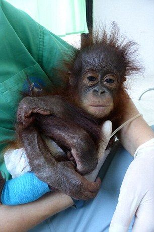 The adorable orangutan had given up on life and 'tried to die several times' according to the vets caring for him