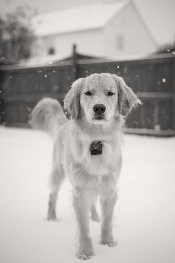 © HMK Photography | Golden Retriever in snow, black-white pet photography