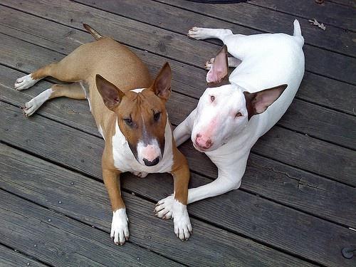 Bull Terriers my god I love them! Molly needs a little boyfriend: English Bull Terriers, Dog Terriers, Bull Terriers Tim, Terriers Dogs, Bull Terriers Future, Bullterriers, Beautiful Bullies, Bull Terrier