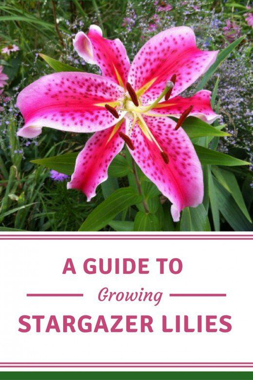 Tips for growing stargazer lilies in your garden, including information on planting and dividing.