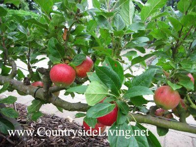Фруктовый сад на шпалерах, плодовые деревья на опорах. Яблоня на горизонтальном кордоне