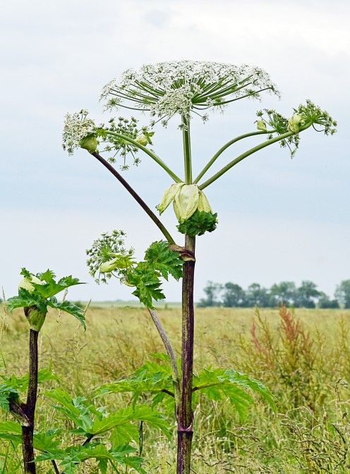 A maturing giant hogweed plant
