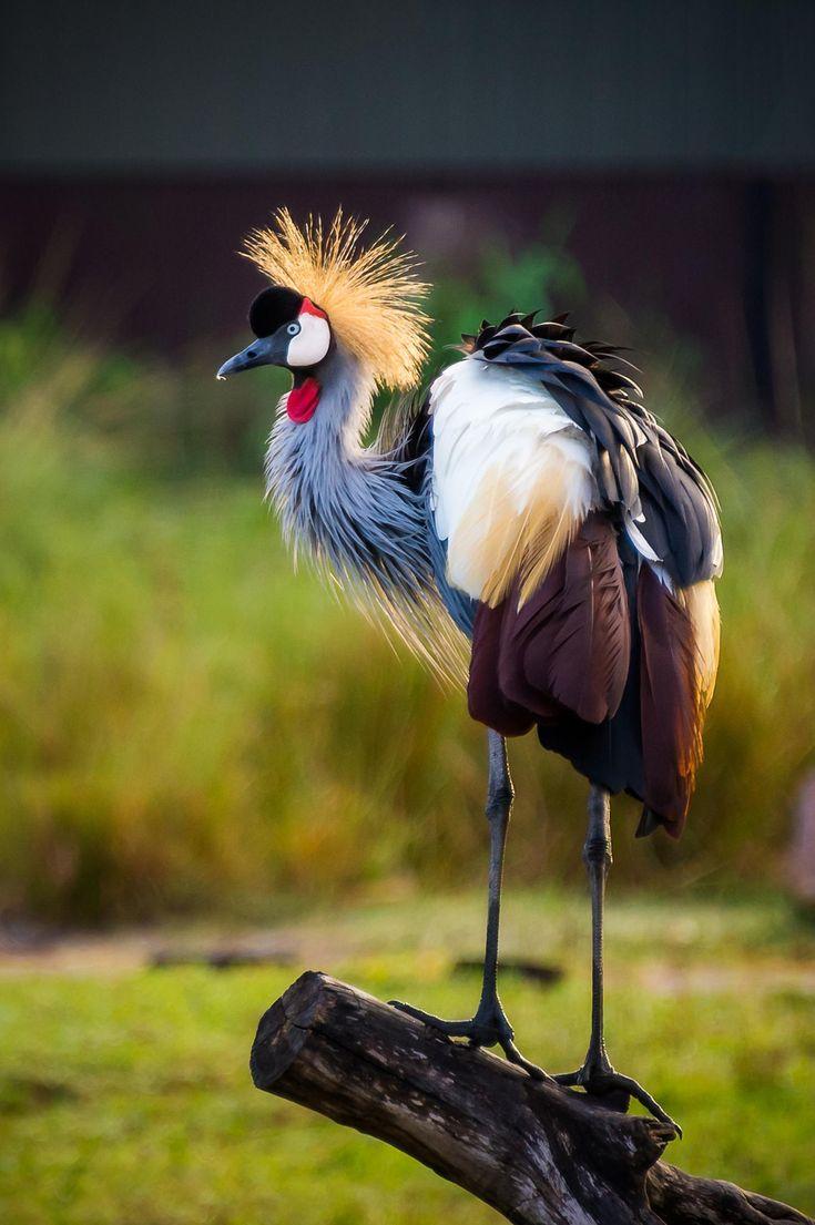 CRESTED CRANE - Balearica regulorum gibbericeps. . . .Dem Rep Congo to Uganda, Kenya to E South Africa.