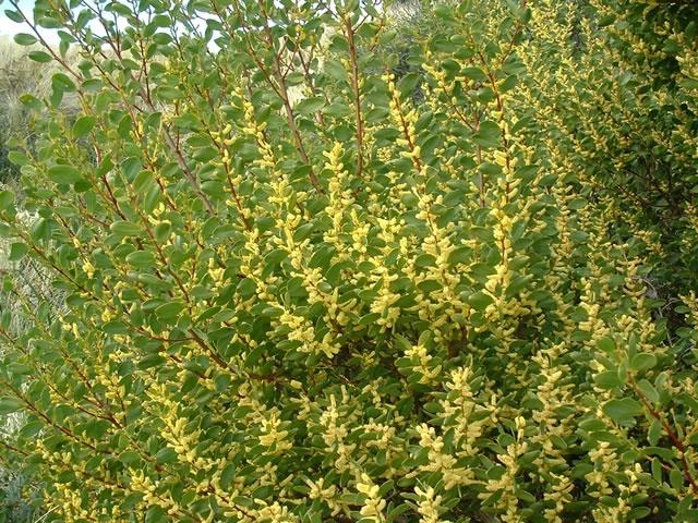 Acacia sophorae  http://www.wildseedtasmania.com.au/webgallery/pages/Acacia%20sophorae.htm