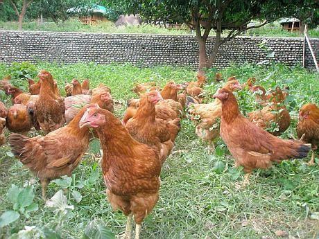 """Programul """"Puiul Rustic"""": Cum pot micii fermieri să câștige 16.000 de euro pe an din creșterea păsărilor de curte"""
