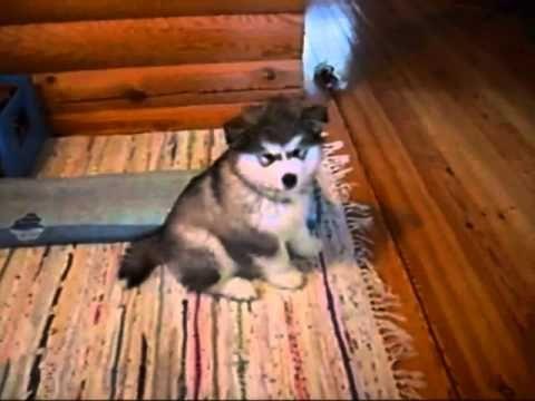Забавный щенок аляскинского маламута