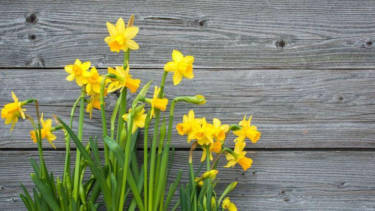 El Narciso, descripción y cuidados #jardinería