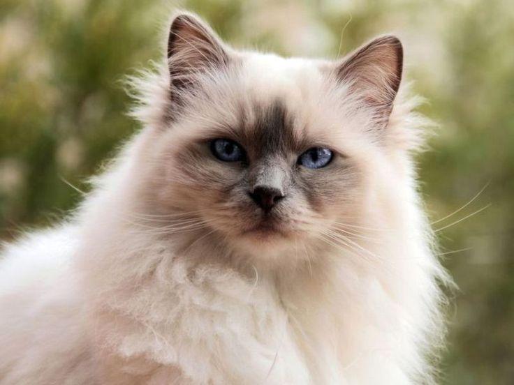 die besten 25 birma katze ideen auf pinterest burmesische katze birma cat und ragdollk tzchen. Black Bedroom Furniture Sets. Home Design Ideas